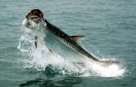Tarpon on Awesome Fishing Radio