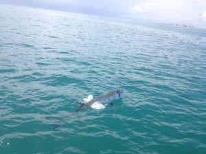 Photo Courtesy of Mike Rathjen Rolling Tarpon
